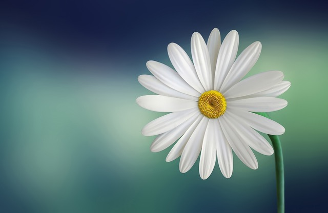 White daisy with a yellow center against a blurred green background