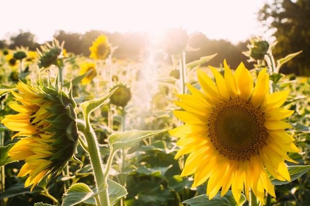 Sun rays on a field of sunflowers