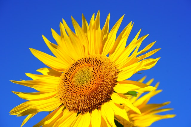 Sun flower against a bright blue sky